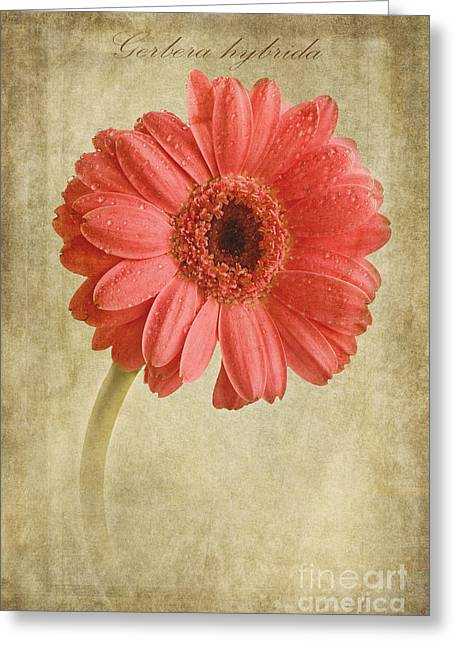Pink Blossoms Digital Greeting Cards - Gerbera hybrida with textures Greeting Card by John Edwards
