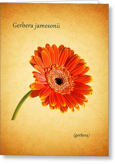 Gerbera Greeting Cards - Gerbera Greeting Card by Mark Rogan
