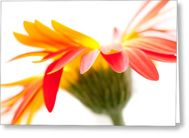 Nature Study Digital Greeting Cards - Gerbera Mix Crazy Flower - Orange Yellow Greeting Card by Natalie Kinnear