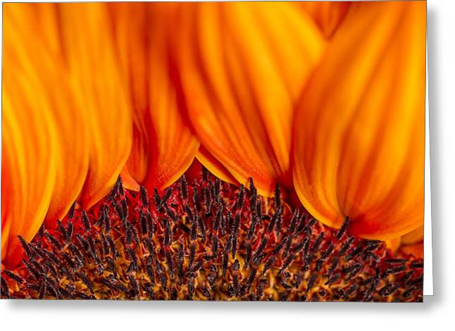 Interior Still Life Greeting Cards - Gerbera on Fire Greeting Card by Adam Romanowicz