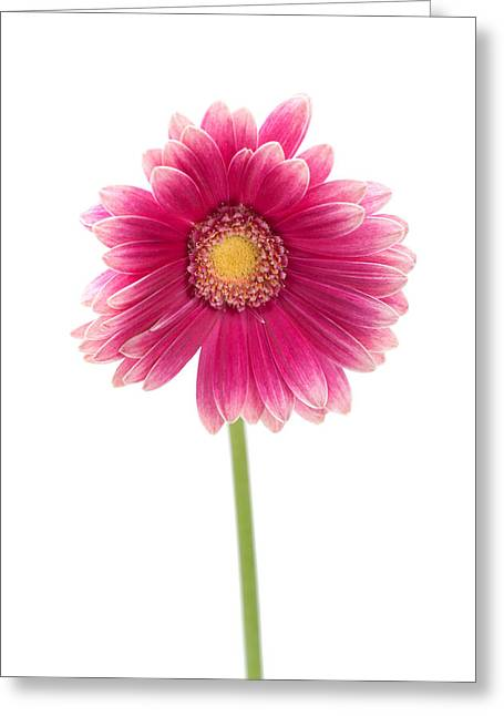 Gerber Greeting Cards - Gerbera Greeting Card by Sebastian Musial