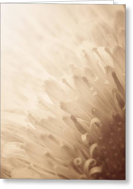 Gerbera Greeting Cards - Gerbera Sepia Greeting Card by Wim Lanclus