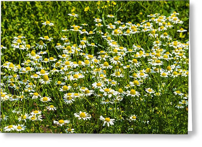 Chamomile Greeting Cards - German Chamomile Matricaria Chamomilla Greeting Card by Panoramic Images