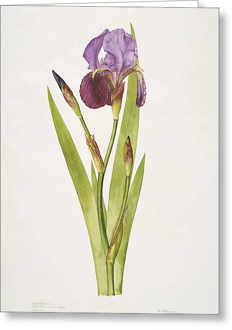Frank Howard Greeting Cards - German iris flower, 20th century Greeting Card by Science Photo Library