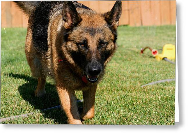 Iraq Posters Photographs Greeting Cards - German Shepherd Greeting Card by Kay Novy