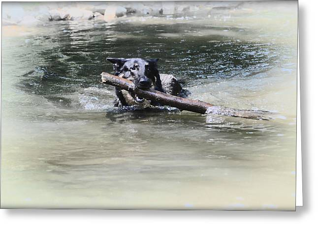 Playing Digital Art Greeting Cards - German Shepherd Playing Fetch Greeting Card by Bill Cannon