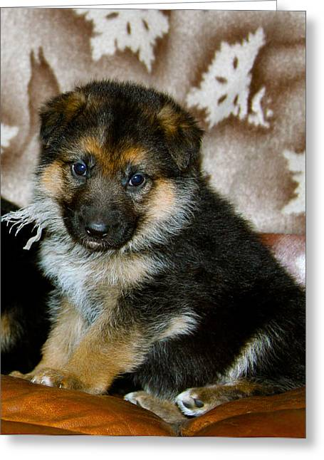 German Shepherd Puppy Greeting Card by Karon Melillo DeVega