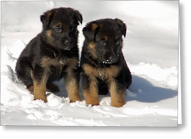 German Shepherd pups Greeting Card by Aimee L Maher Photography and Art