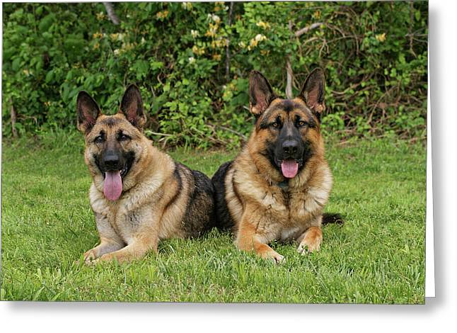 German Shepherds - Mother And Son Greeting Card by Sandy Keeton