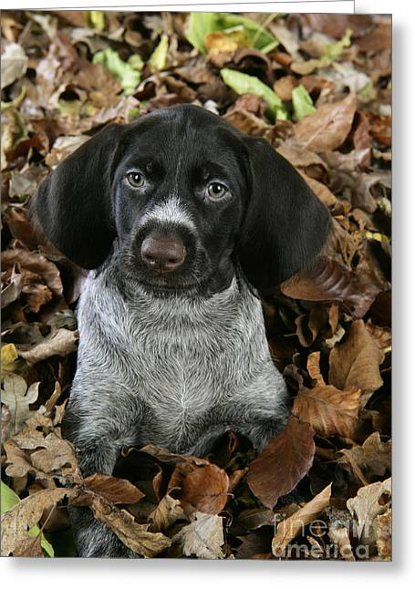 Leaves In Hair Greeting Cards - German Wire-haired Pointer Puppy Greeting Card by John Daniels