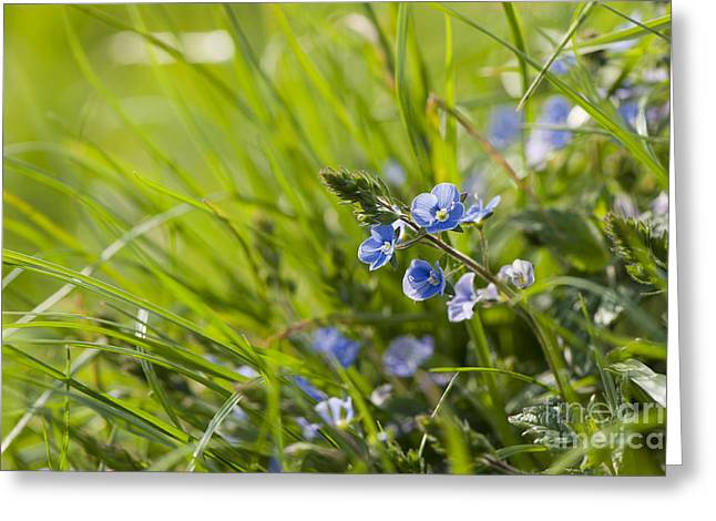 Close Focus Floral Greeting Cards - Germander Speedwell Greeting Card by Anne Gilbert