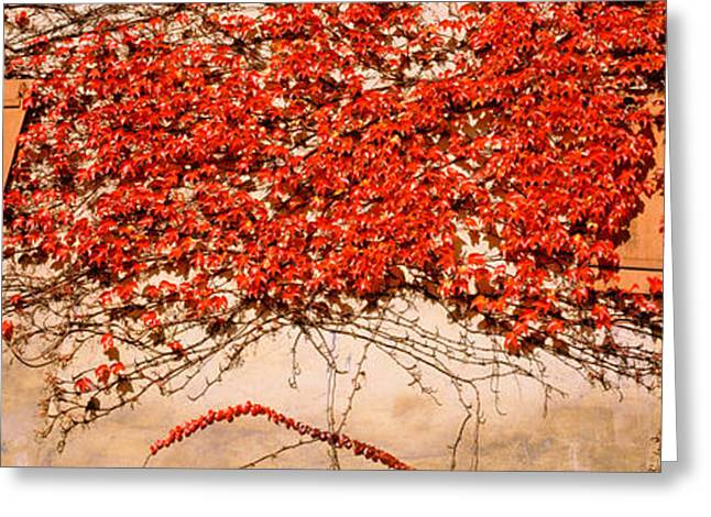 Creepers Greeting Cards - Germany, Tuebingen, Red Leaves Grown Greeting Card by Panoramic Images