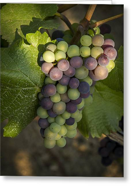 Winemaking Greeting Cards - Getting Ripe Greeting Card by Jean Noren