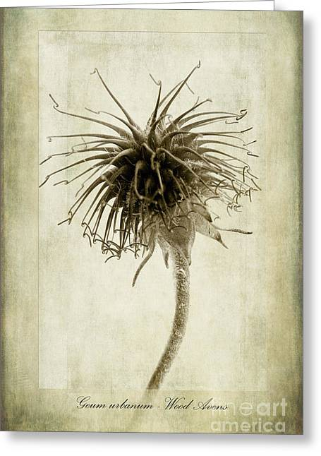 Benedict Greeting Cards - Geum urbanum in Sepia Greeting Card by John Edwards
