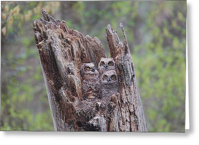 Great Birds Pyrography Greeting Cards - GHO Owlets Greeting Card by Daniel Behm