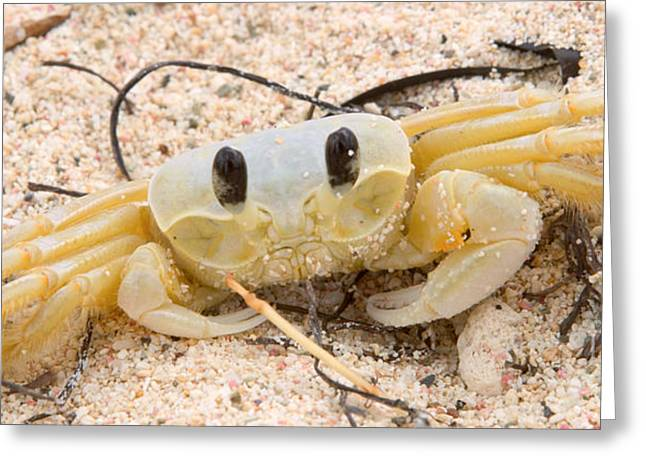 Fineartprint Greeting Cards - Ghost crabs  Greeting Card by Iris Richardson