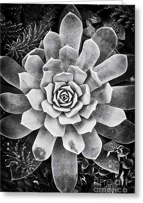 Rosette Greeting Cards - Ghost Echeveria Greeting Card by Tim Gainey