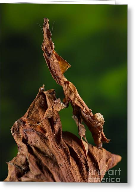 Preying Mantis Greeting Cards - Ghost Or Dead Leaf Mantis Greeting Card by Francesco Tomasinelli