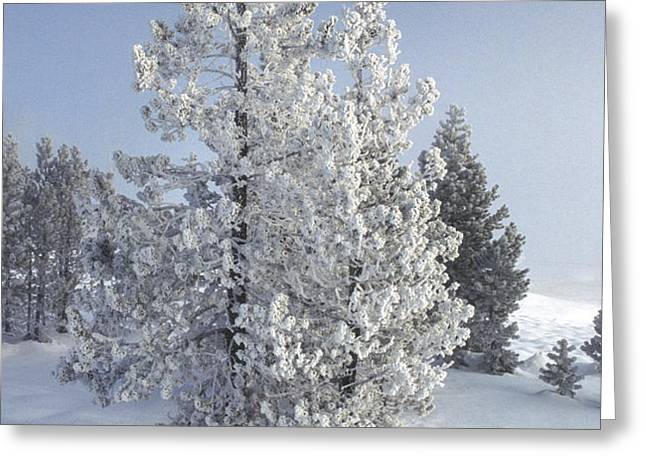 Ghost Trees of Yellowstone Greeting Card by Sandra Bronstein