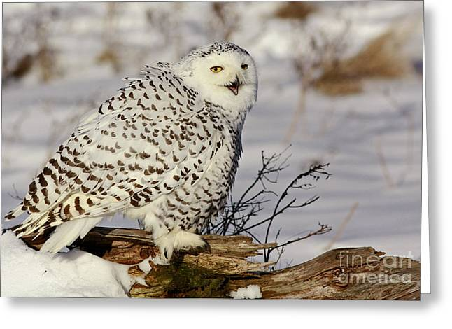 Shelley Myke Greeting Cards - Ghostly Presence- Snowy Owl Greeting Card by Inspired Nature Photography By Shelley Myke