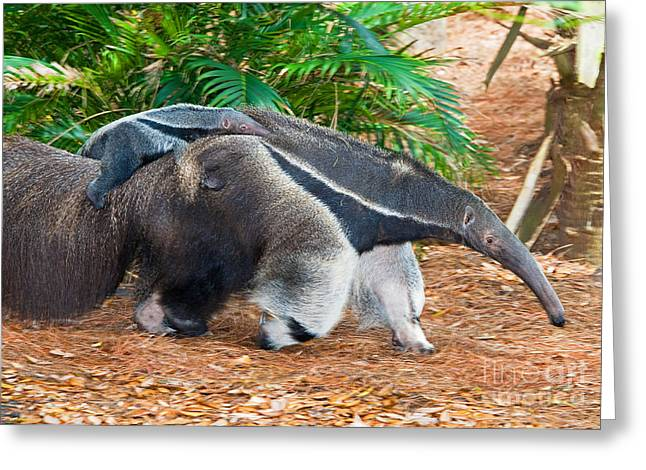 Giant Anteater Mother And Baby Greeting Card by Millard H. Sharp