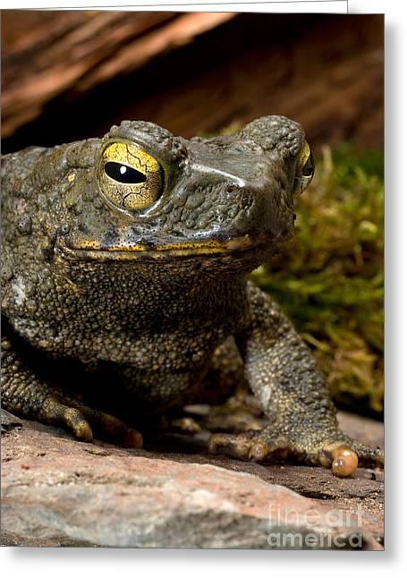 Asian Wildlife Greeting Cards - Giant Asian Toad Greeting Card by Frank Teigler