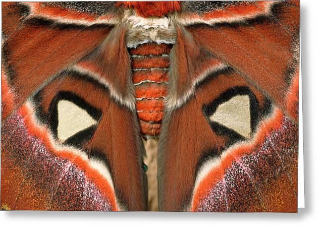 Giant Atlas Moth Greeting Card by Nigel Downer