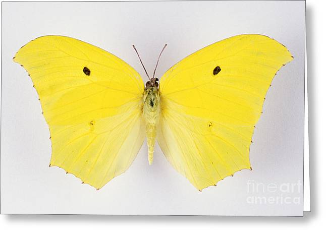 Silhouettable Greeting Cards - Giant Brimstone Butterfly Greeting Card by Barbara Strnadova
