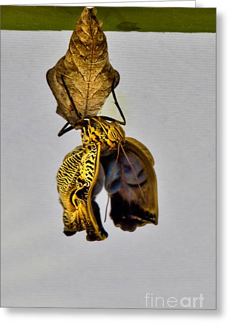 Pupa Greeting Cards - Giant Butterfly Birth In Mindo Ecuador Greeting Card by Al Bourassa