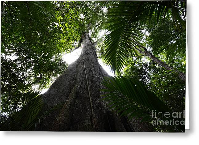Giant Trees Greeting Cards - Giant Cashew Tree Amazon Rainforest Brazil Greeting Card by Bob Christopher