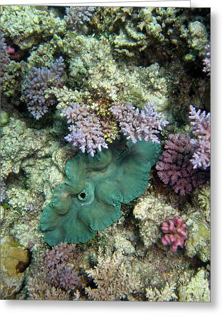 Giant Clam, Agincourt Reef, Great Greeting Card by David Wall