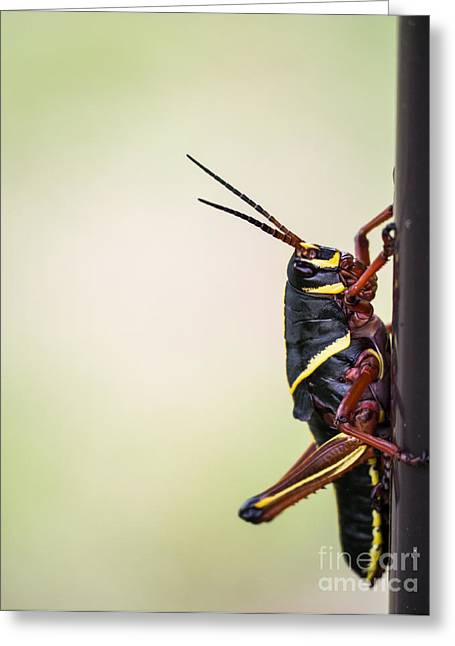 Locust Greeting Cards - Giant Eastern Lubber Grasshopper Greeting Card by Edward Fielding