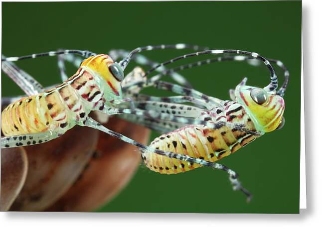 Giant Katydid Hatchlings Greeting Card by Tomasz Litwin