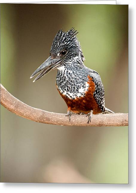 Bird On Tree Greeting Cards - Giant Kingfisher Megaceryle Maxima Greeting Card by Panoramic Images