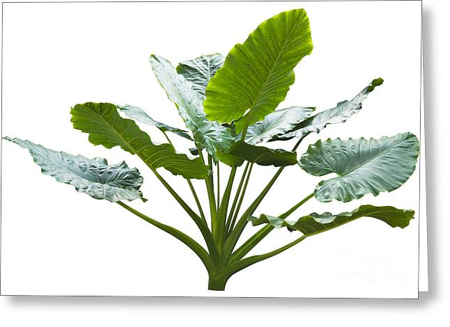 Elephant Ear Plant Greeting Cards - Giant Leaf Greeting Card by Atiketta Sangasaeng
