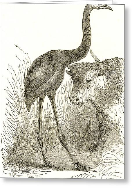 Dinornis Greeting Cards - Giant Moa, Dinornis Greeting Card by Science Source