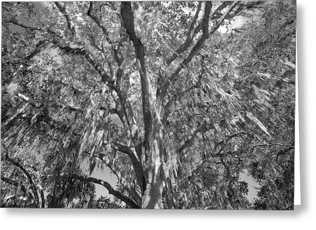 Historic Home Greeting Cards - Giant Oak and Spanish Moss Greeting Card by Rich Franco