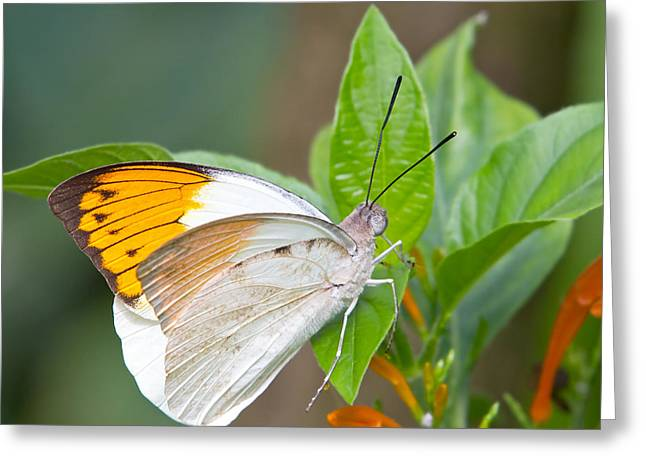 Antenna Greeting Cards - Giant orange tip butterfly Greeting Card by Jane Rix