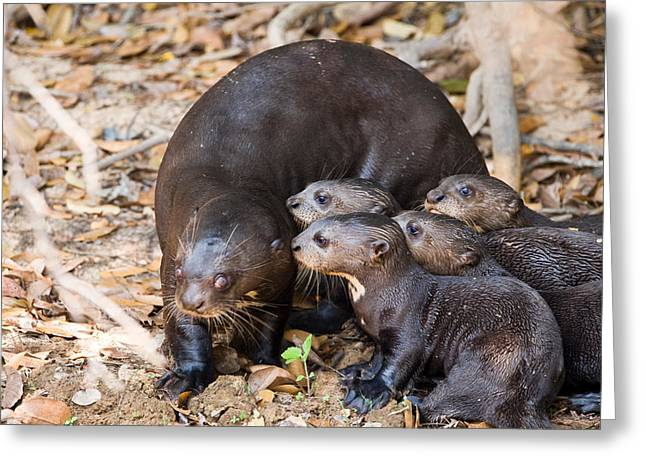 Colors Of Autumn Greeting Cards - Giant Otter Pteronura Brasiliensis Greeting Card by Panoramic Images