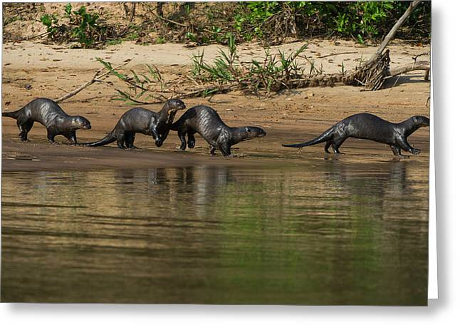 Giant Otter (pteronura Brasiliensis Greeting Card by Pete Oxford