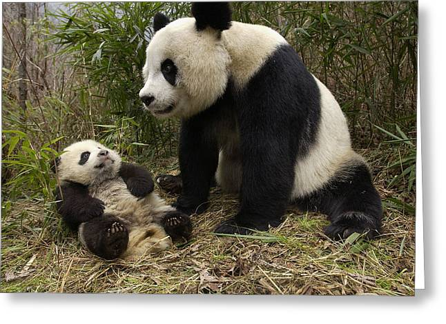 Wolong Nature Reserve Greeting Cards - Giant Panda And Baby In Bamboo Forest Greeting Card by Katherine Feng