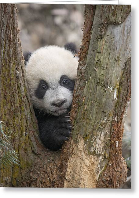 Giant Panda Cub Bifengxia Panda Base Greeting Card by Katherine Feng
