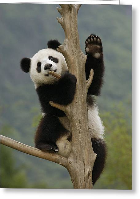 Wolong Nature Reserve Greeting Cards - Giant Panda Cub Climbing Tree Wolong Greeting Card by Katherine Feng