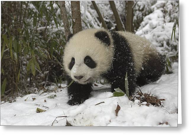 Wolong Nature Reserve Greeting Cards - Giant Panda Cub In Snow Wolong China Greeting Card by Katherine Feng