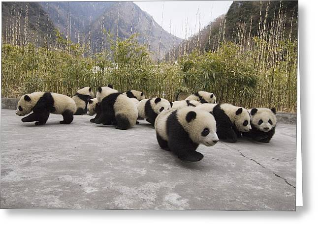 Wolong Nature Reserve Greeting Cards - Giant Panda Cubs Wolong China Greeting Card by Katherine Feng