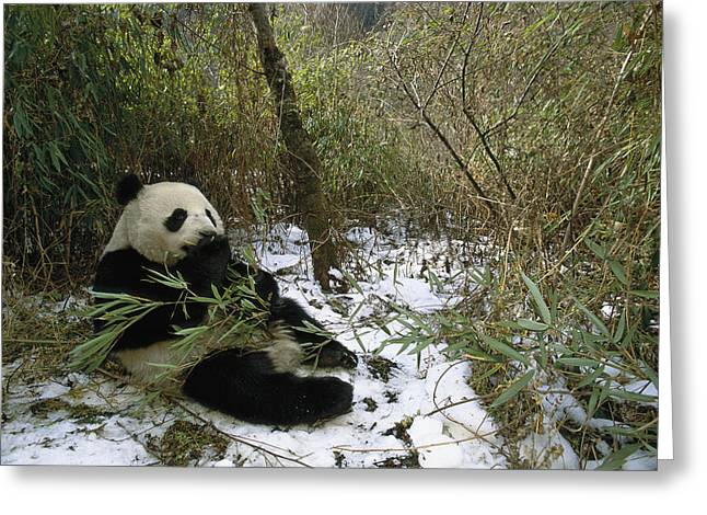 Himalayan Region Greeting Cards - Giant Panda Eating Bamboo Wolong China Greeting Card by Pete Oxford