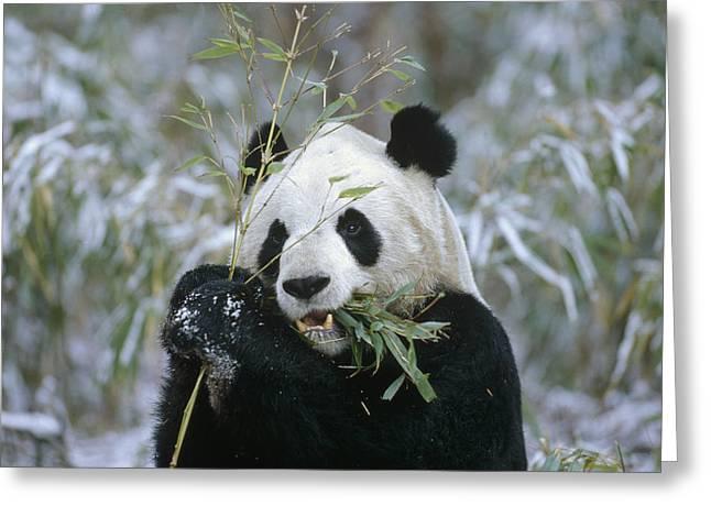 Giant Panda Eating Bamboo Wolong Valley Greeting Card by Konrad Wothe