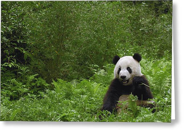 Wolong Nature Reserve Greeting Cards - Giant Panda Near Bamboo Wolong China Greeting Card by Pete Oxford