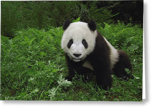 Wolong Nature Reserve Greeting Cards - Giant Panda Wolong China Greeting Card by Pete Oxford