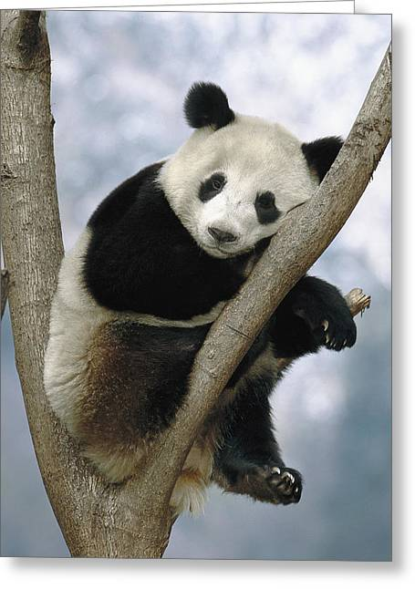 Wolong Nature Reserve Greeting Cards - Giant Panda  Wolong Valley China Greeting Card by Pete Oxford